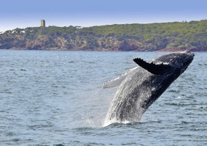 humpback whale breaching in front of headland