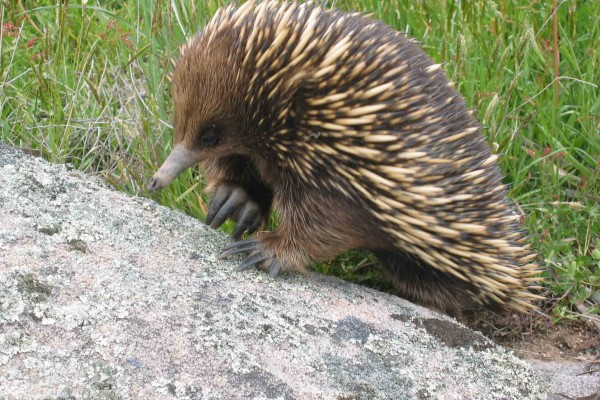gang gang tours eco australia wildlife echidna
