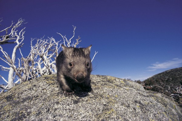 wombat wildlife snowy mountains gang gang tours eco