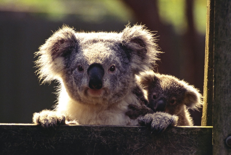 Koala with baby on back peering over wooden fence
