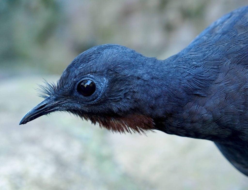 Head and neck of a superb lyrebird