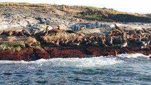 new zealand fur seals sitting on coloured rocks on montague island