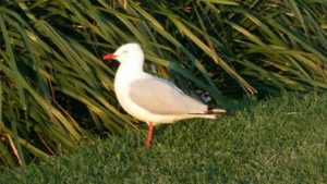 single seagull standing on grass