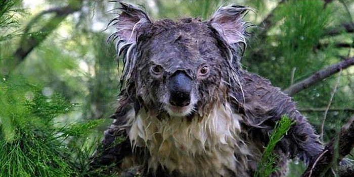 soggy looking koala masquerading as a drop bear