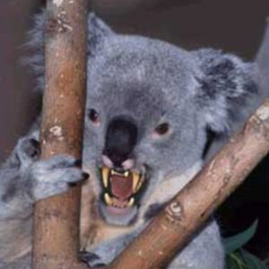 fierce looking drop bear in fork of a tree
