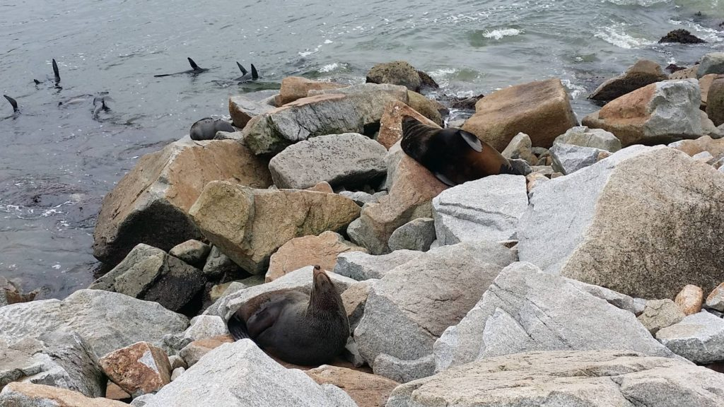 fur seals sunning themselves on rocks
