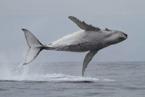 breaching humpback whale horizontal to ocean surface showing underside