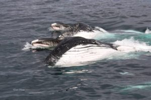 two humpback whales with mouths open showing baleen scales