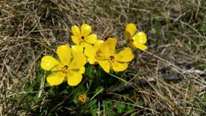 yellow alpine buttercups