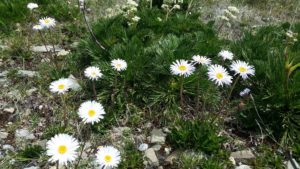 white alpine daisies with yeellow centre