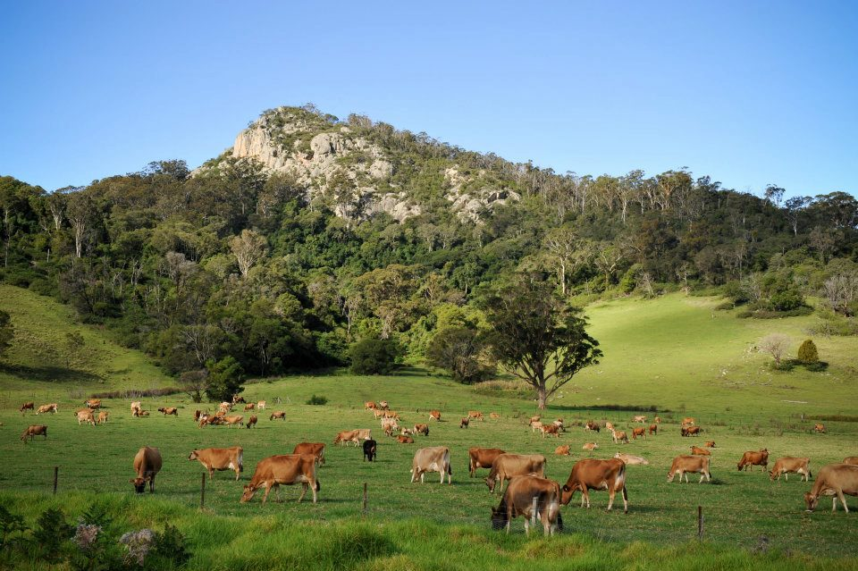 herd of jersey cows grazing in the tilba valley
