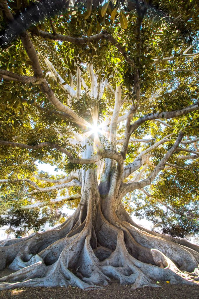 large fig tree with sun rays shining through towards camera