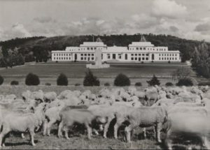 herd of sheep in front of old parliament house canberra post 1927