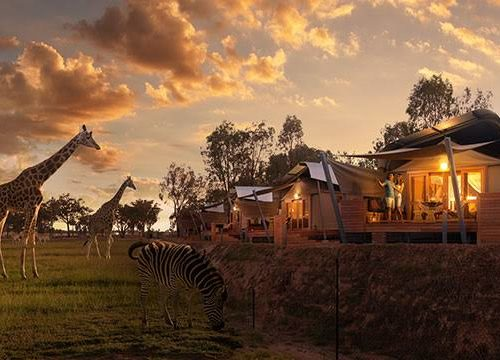 giraffes and zebra in front of glamping tents at dubbo zoo
