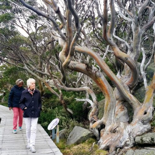 two women walking on boardwalk amongst snowgums