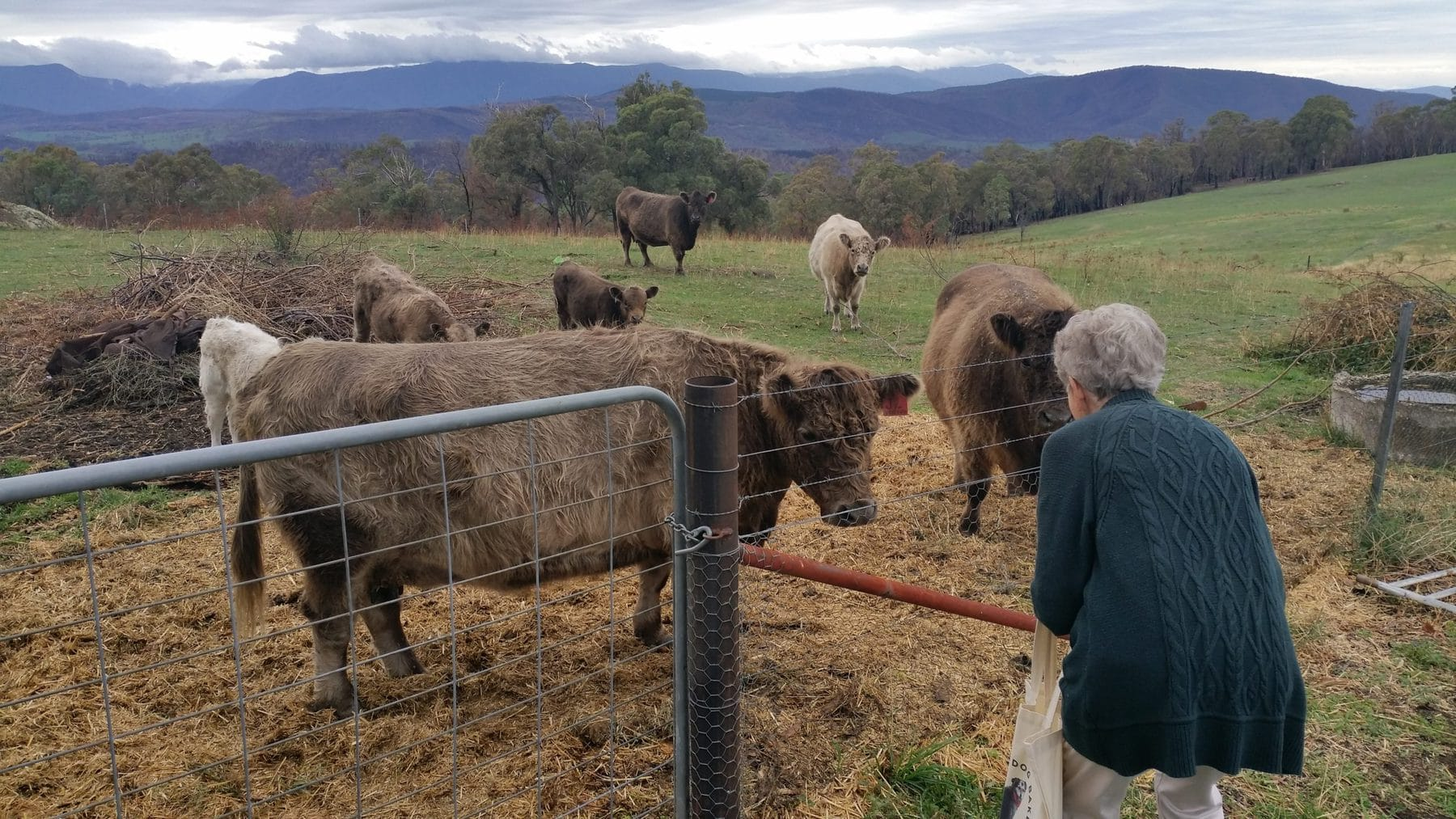 several cows behind a fence and woman in front