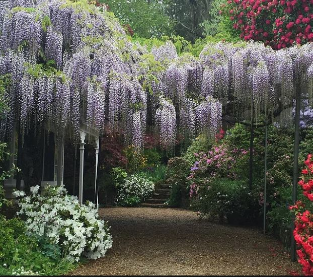 shady path and stairs with overhanging mauve flowers forming a canopy